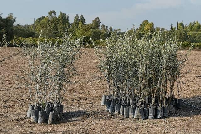 Progetto Green Hotel Le Grazie per piantare ulivi nel Sulcis in Sardegna. Turismo Ecosostenibile